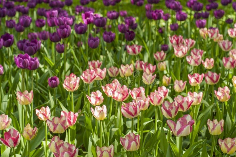 Purpurfärgade, rosa och vita tulpan i parkerar under tulpanfestival i St Petersburg f?rgrika blommor tr?dg?rds- sommar arkivfoton