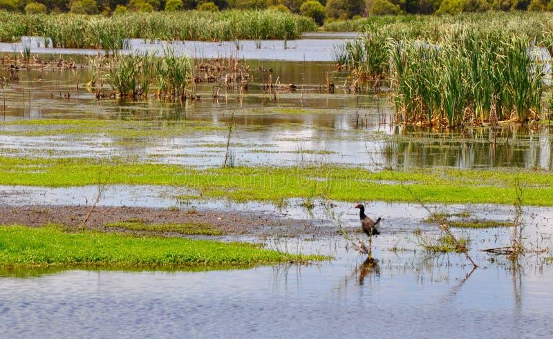 Purpurfärgade Swamphen: Bibra sjödjurliv arkivfoto