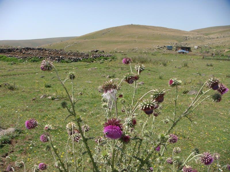 Purpurfärgade tistlar och ett gräsfält som fördjupa till ett litet berg ararat montering fåtöljer arkivbilder