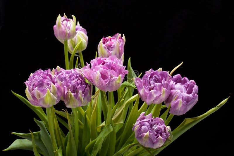 purpurfärgade tulpan royaltyfri fotografi