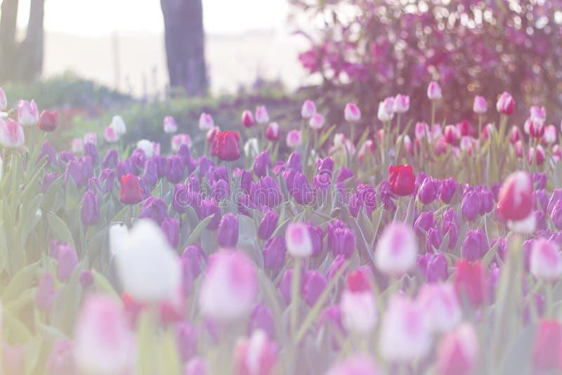 Purpurfärgade tulpan som blommar i vårträdgård fotografering för bildbyråer