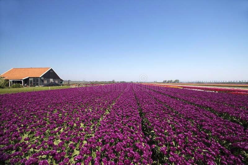 Purpurfärgade tulpanfält upp till horisonten royaltyfria bilder
