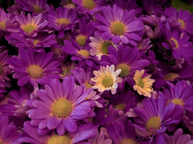 purpurfärgade tusenskönablommor i en blom- ordning, en bakgrund och en textur arkivfoton