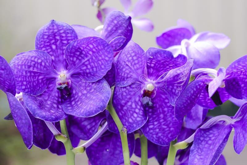 Purpurfärgade Vanda Orchid  royaltyfri fotografi
