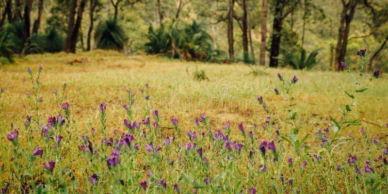 Purpurfärgade vildblommor längs Numbat som fotvandrar slingan, Gidgegannup, västra Australien, Australien royaltyfri bild
