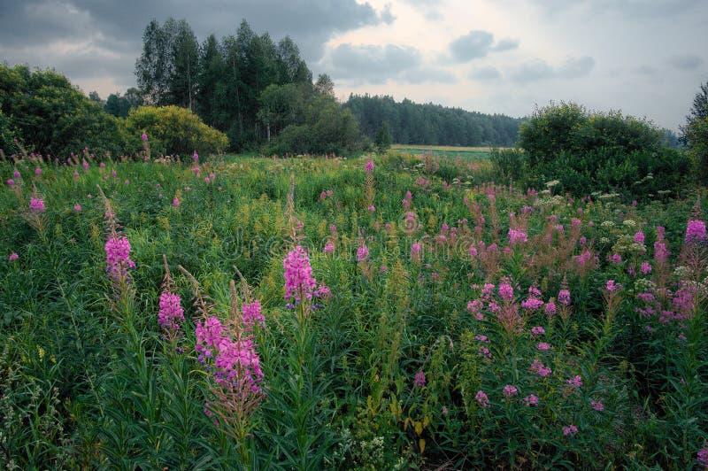 Purpurfärgade vildblommor på Ural sätter in mycket av grönt gräs arkivbilder