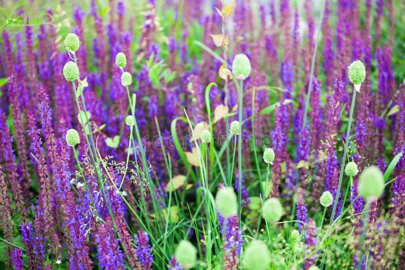 Purpurfärgade visa blommor och grönt gräs gjorde suddig bokehbakgrundscloseupen som blommar det violetta salviafältet, sommarlave royaltyfri bild