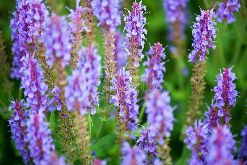 Purpurfärgade visa blommor på för bokehbakgrund för grönt gräs som den suddiga closeupen blommar det violetta salviafältet royaltyfria foton