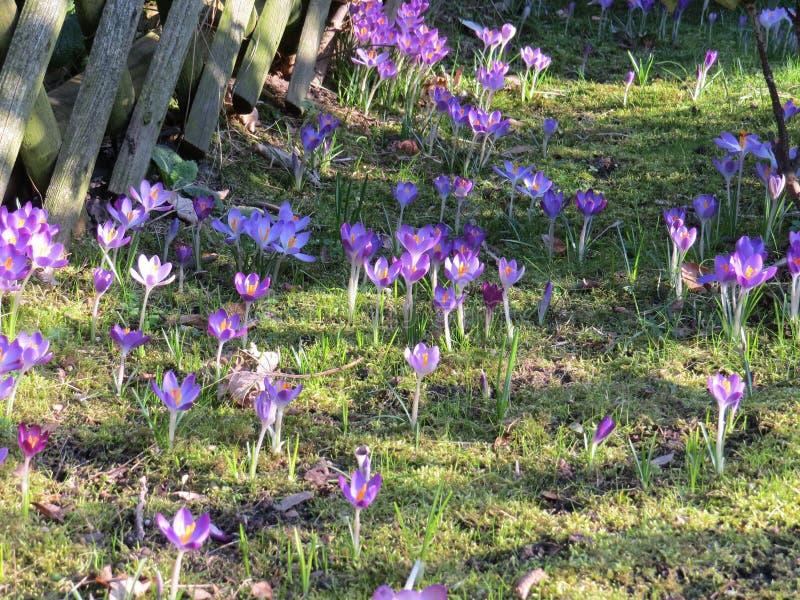 Purpurfärgat blommafält på gräs royaltyfria bilder