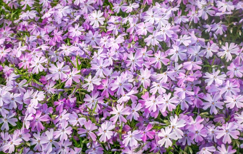 Purpurfärgat blommande gräs blommar i fält royaltyfri fotografi