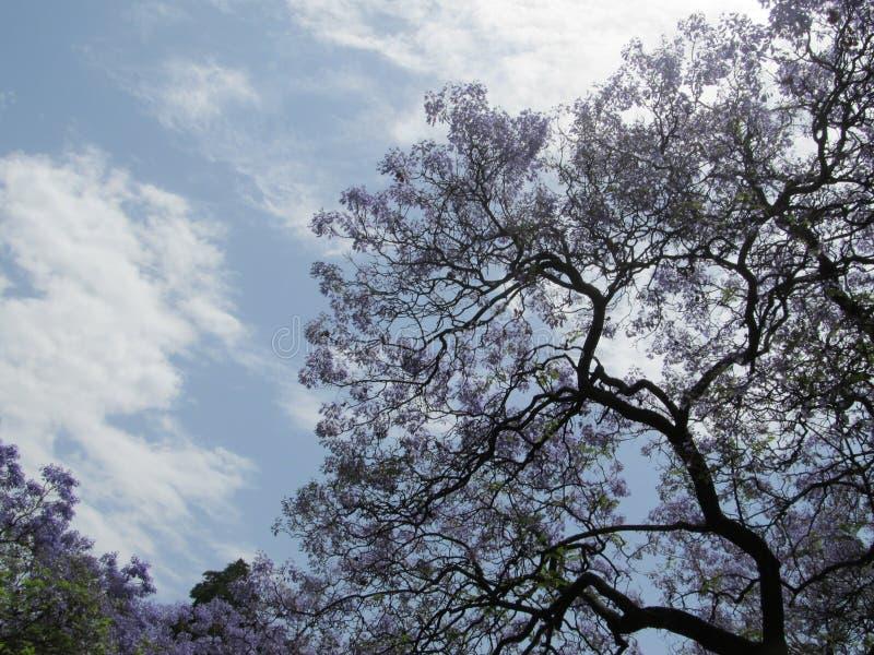 Purpurfärgat blomningträd och himmel royaltyfria bilder