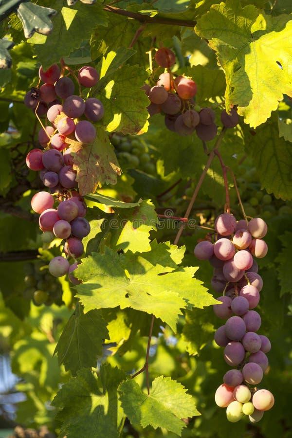 Purpurfärgat hänga för druvor royaltyfria foton