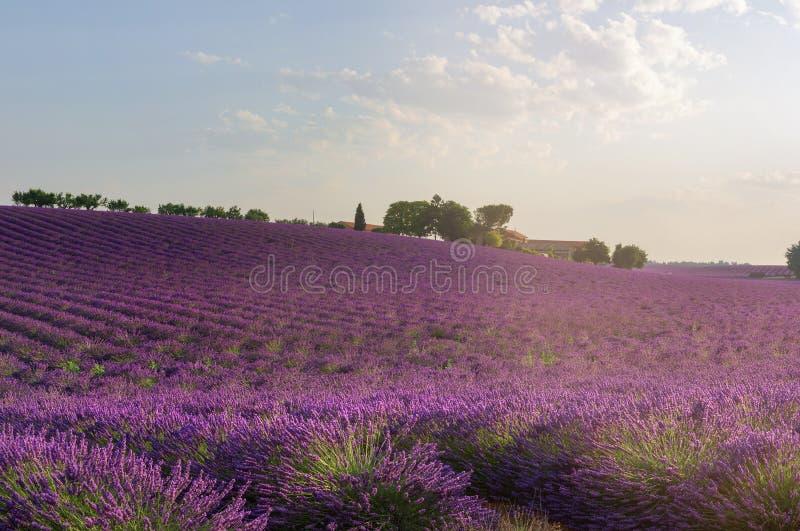 Purpurfärgat lavendelfält med lantgården i franska Provence arkivbild