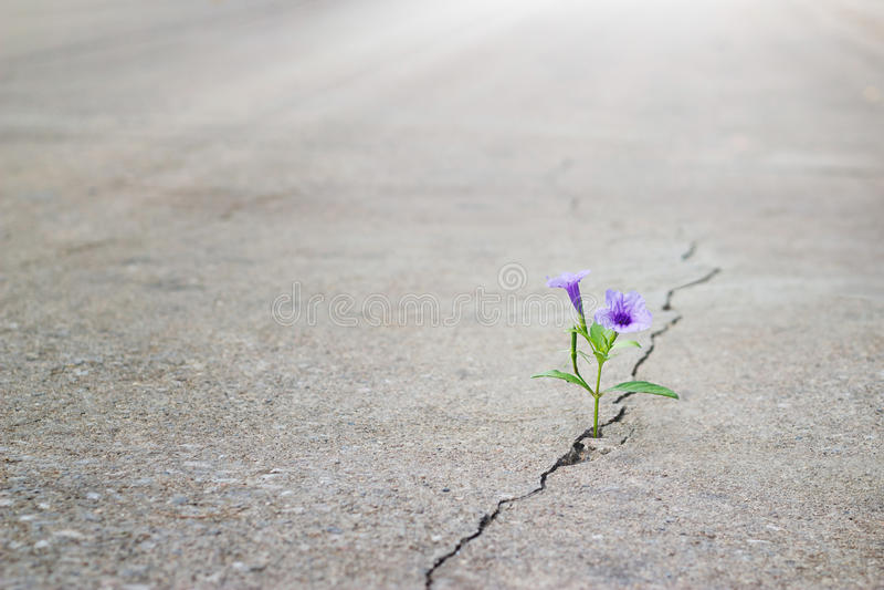 Purpurfärgat växa för blomma på sprickagatan, mjuk fokus royaltyfri fotografi