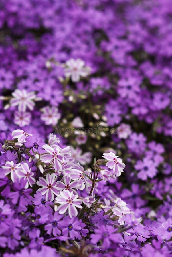 Purpurfärgat violett färgblommafält arkivbilder