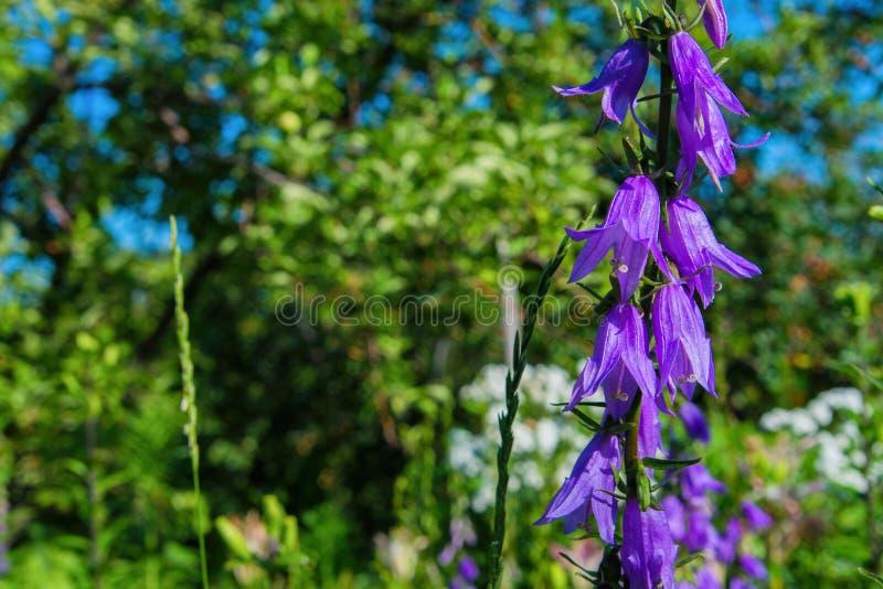 Purpurf?rgade canterbury klockablommor, landskap Purpurfärgade klockor på en bakgrund av gräsplan arkivfoto