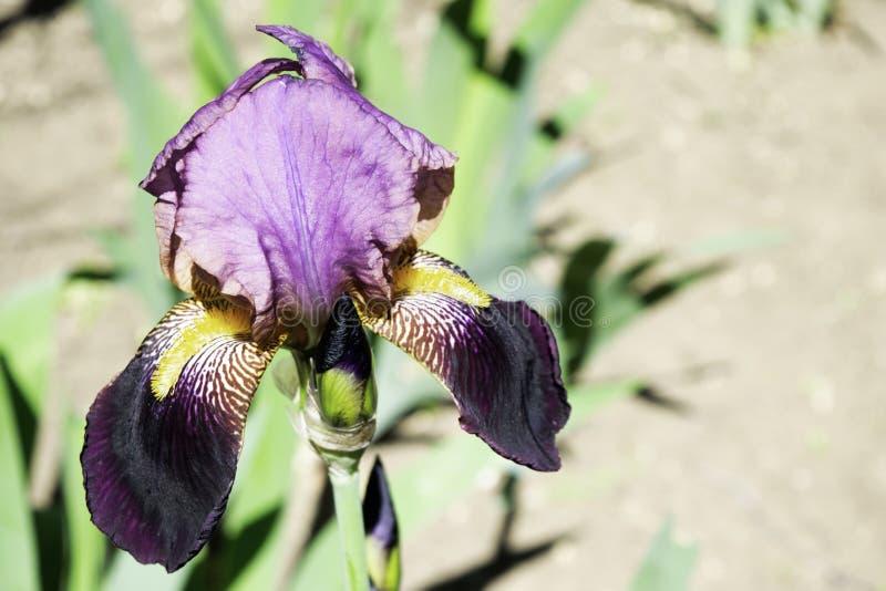 Purpurf?rgade irisblommor som blommar i en tr?dg?rd i v?rkopieringsutrymme royaltyfria bilder