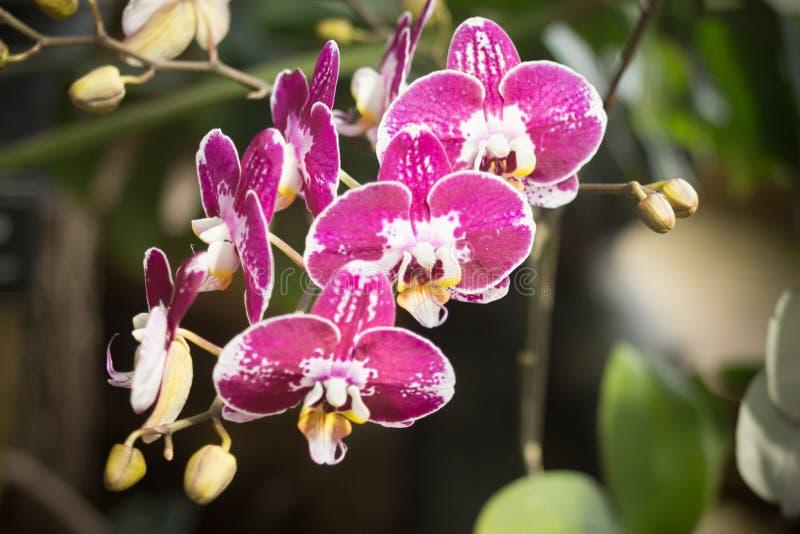 Purpurf?rgade och vita Phalaenopsisorchideblommor i en drivhus royaltyfri bild