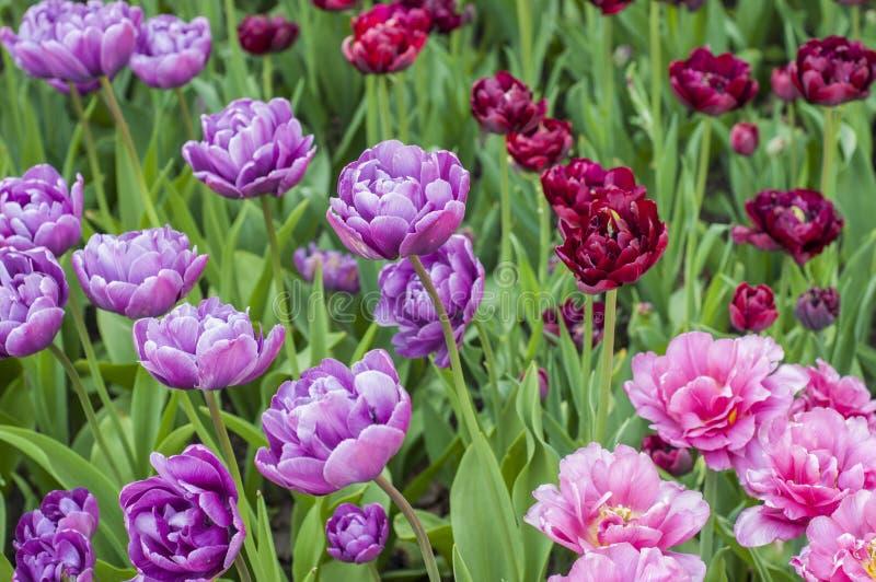Purpurf?rgade, r?da och rosa tulpan i parkerar under tulpanfestival i St Petersburg f?rgrika blommor royaltyfri bild