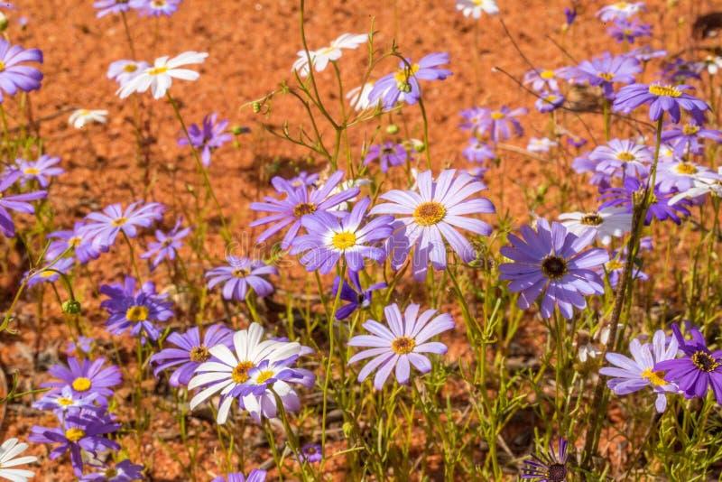 Purpurowa łąka obraz royalty free