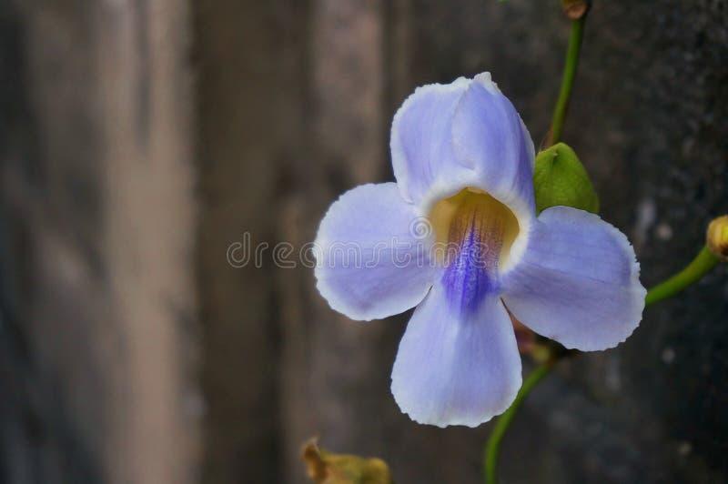 Purpurowa Bengalia trąbka zdjęcie stock