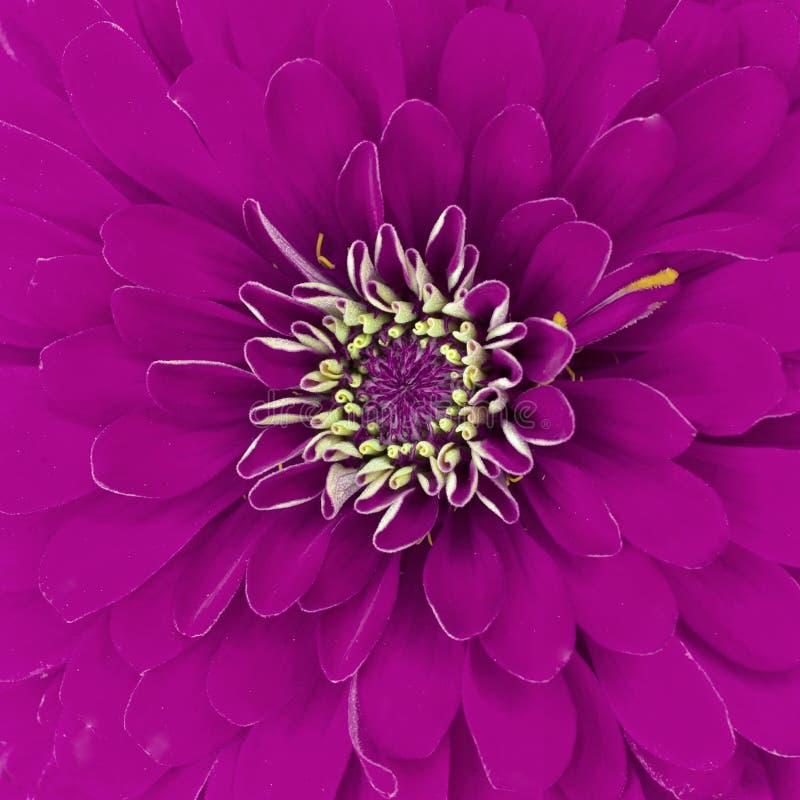 Purpurowa chryzantema zdjęcie stock