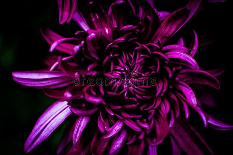 Purpurowa chryzantema OD AL obraz royalty free
