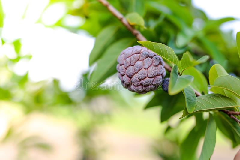 Purpurowa custard jabłka owoc obraz stock