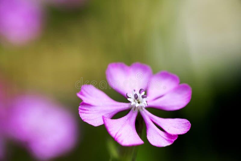 Purpurowa dzikiego kwiatu t?a sztuka pi?kna w wysokiej jako?ci druk?w produktach zdjęcie royalty free