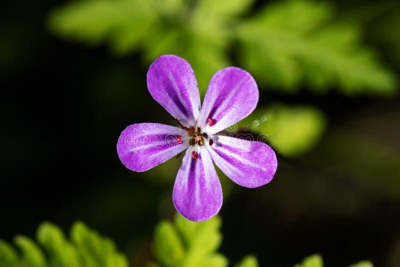 Purpurowa dzikiego kwiatu t?a sztuka pi?kna w wysokiej jako?ci druk?w produktach obraz stock