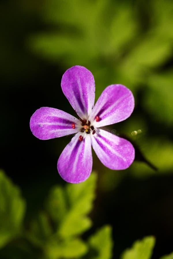 Purpurowa dzikiego kwiatu t?a sztuka pi?kna w wysokiej jako?ci druk?w produktach obrazy royalty free