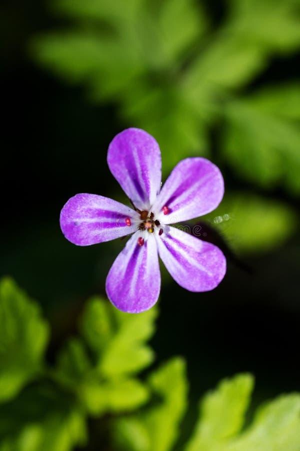 Purpurowa dzikiego kwiatu t?a sztuka pi?kna w wysokiej jako?ci druk?w produktach zdjęcie stock