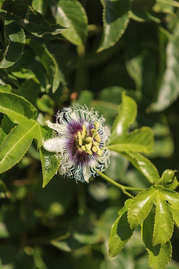 Purpurowa i biała passionflower owoc, Passiflora wcielony obrazy royalty free