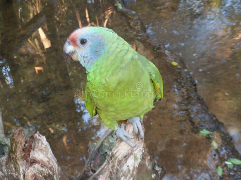 Purpurowa klatki piersiowej papuga obrazy stock