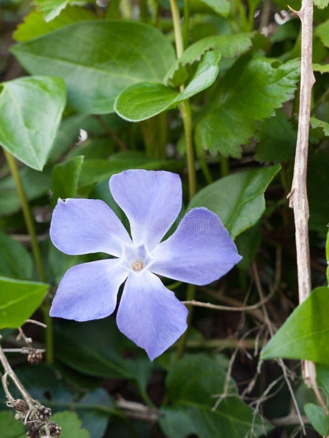 Purpurowa kwiat głowa Makro- z liśćmi Behind zdjęcia stock