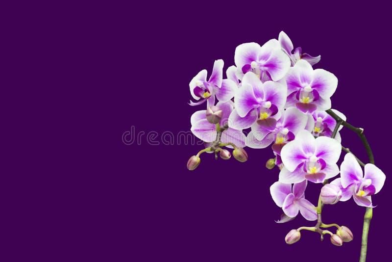 Purpurowa kwitnąca storczykowa roślina w różowym kwiatu garnku Odizolowywający na fiołkowym tle, selekcyjna miękka ostrość Piękny fotografia stock
