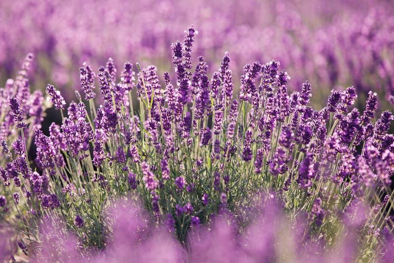 Purpurowa lawenda kwitnie w polu fotografia royalty free