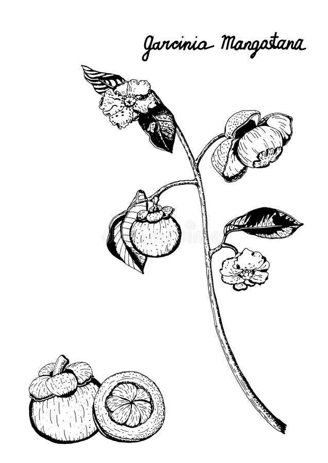 Purpurowa mangostan gałąź, owoc, kwiaty, liście, ręka rysująca w czarny i biały ilustracji