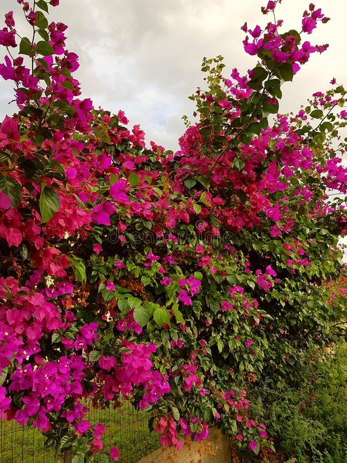 Purpurowa ogrodowa roślina zdjęcia stock