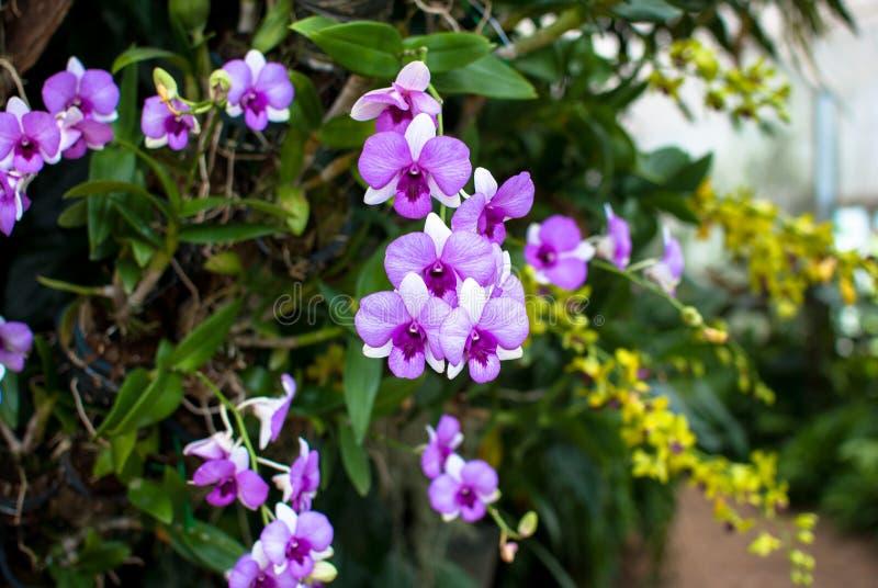 Purpurowa orchidea obraz royalty free