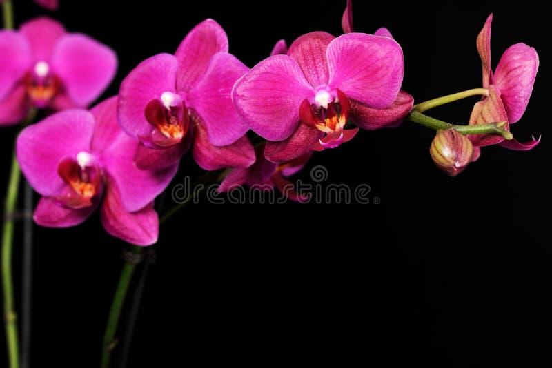 Purpurowa orchidea na czerni obraz royalty free