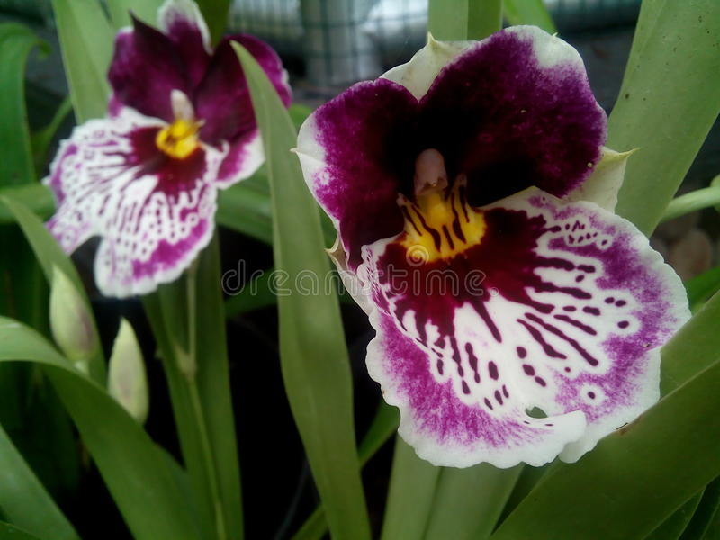 Purpurowa orchidea przy bedugul orchidei parki zdjęcia royalty free