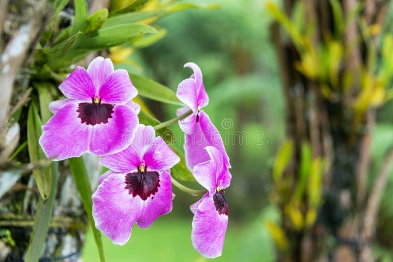 Purpurowa orchidea w Kolumbia zdjęcia royalty free