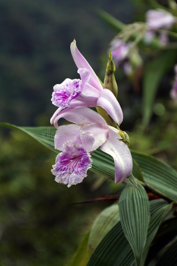 Purpurowa orchidea zdjęcie royalty free