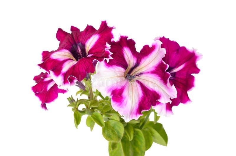 Purpurowa petunia kwitnie na białym tle zdjęcia royalty free