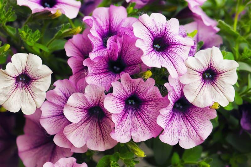 Purpurowa petunia kwitnie w ogródzie w wiosna czasie zdjęcia royalty free