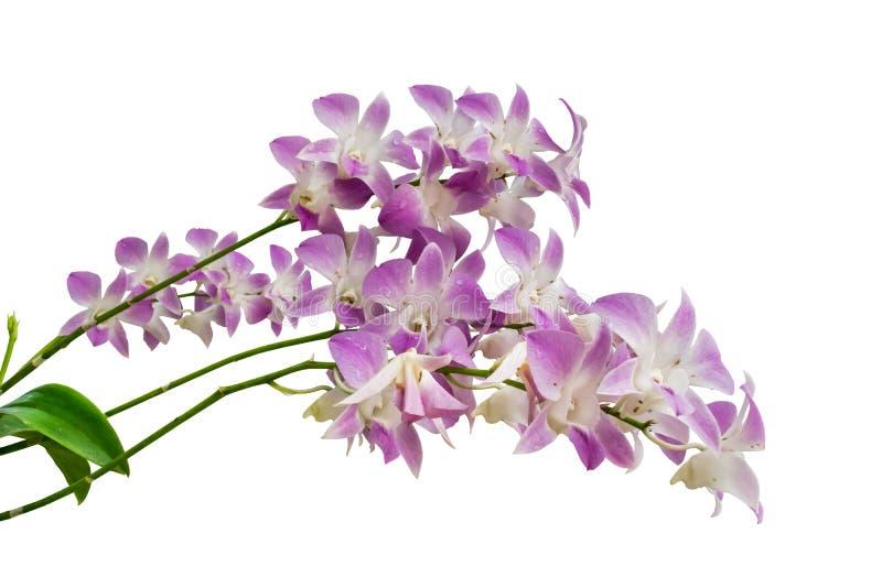 Purpurowa storczykowa kwiat gałąź odizolowywająca na białym tle obrazy royalty free