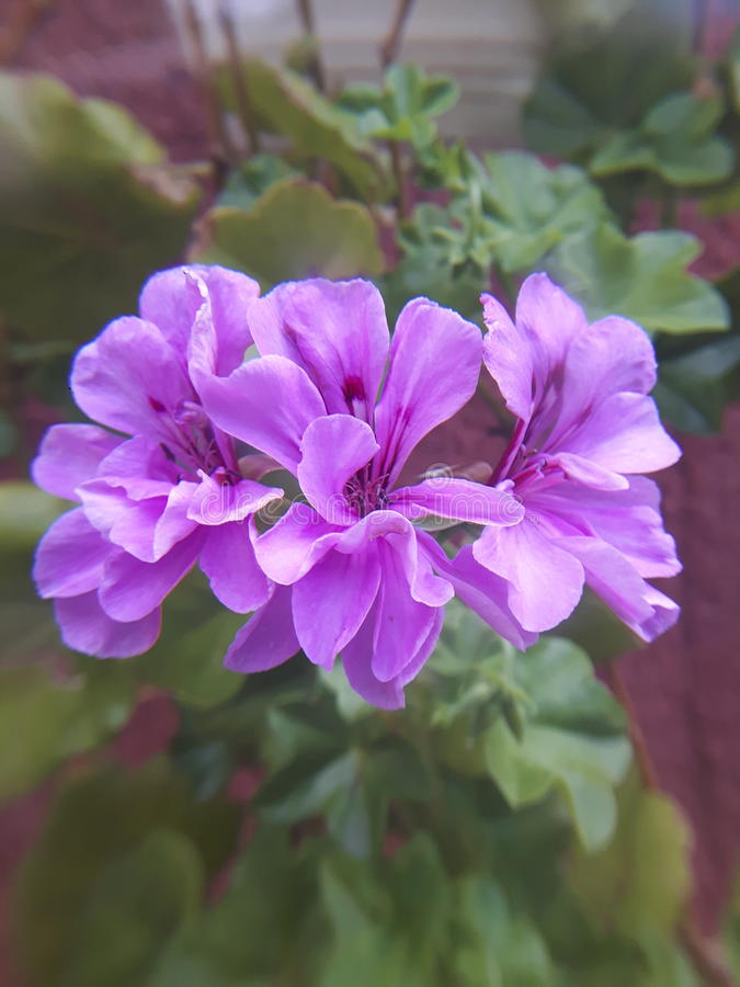 Purpurowa tajemnica obraz stock