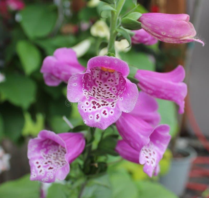 Purpurowa Zaplamiona naparstnica fotografia stock