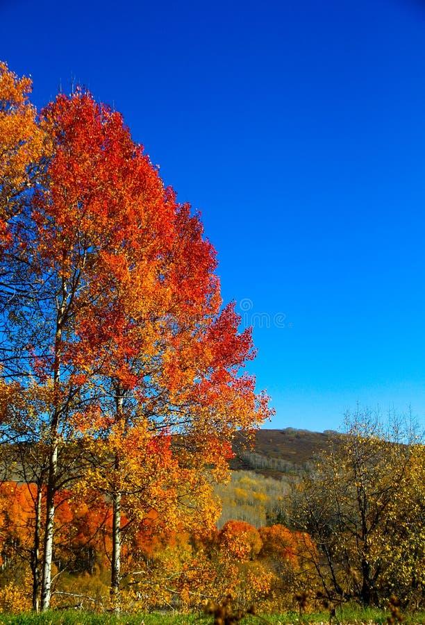 Purpurowe żółte osiki przeciw niebieskiemu niebu obrazy stock